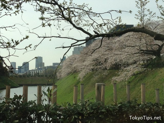 Cherry blossoms bloom down toward to water of moat at Chidorigafuchi.