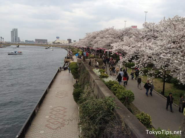 Cherry blossoms bloom fully at Sumida Park on March 23 2013.