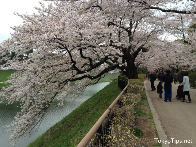 Cherry blossoms bloomed toward to the moat of Chidorigafuchi.