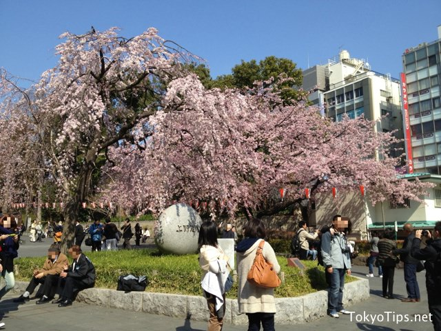 People take pictures for souvenirs with Okanzakura in full bloom.