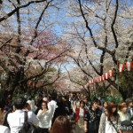 Cerry blossoms bloom at Ueno Park on March 22 2013.