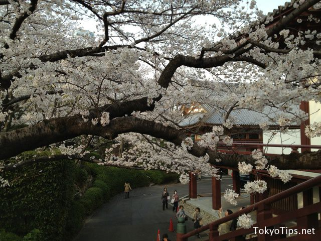 Cherry blossoms bloom fully at Shiba Park and Zojoji Temple on March 23 2013.