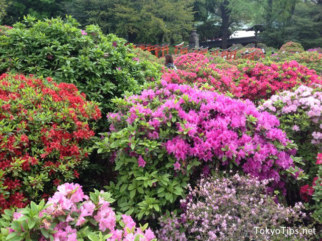 Various breed azaleas are blooming. They are very beautiful.