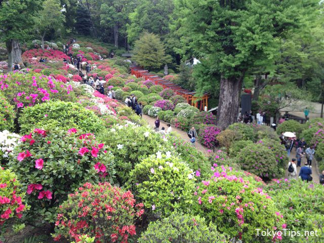 Many azaleas are bloom. Torii gateways are in back.